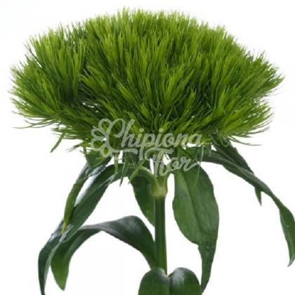 GREEN WICKI