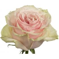 ROSA PINK MONDIAL 50 CM